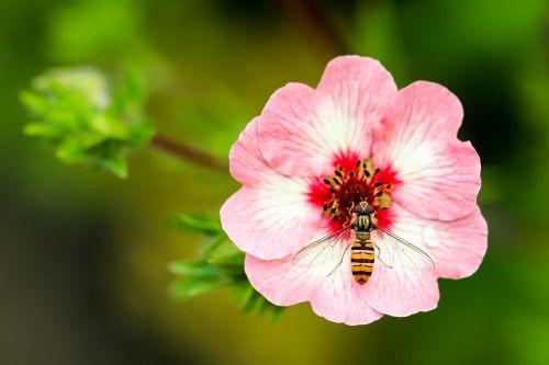isp,gėlė,Uždaryti,rinkti žiedadulkes,vabzdys,geltona juoda dryžuota,gėlė balta raudona,nektaras,žiedadulkės,gamta,gyvūnas,Hoverfly