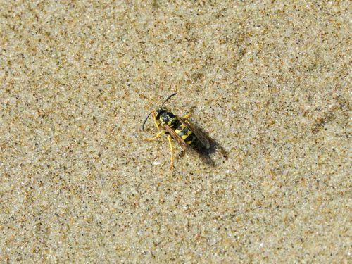 wasp beach grains of sand