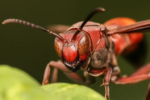 isp,bičių,Hornet,vabzdys,gyvūnas,laukinė gamta,šerti,stinger,makro