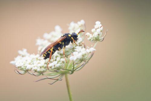 wasp smock nature