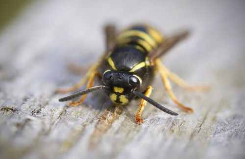 wasp macro insect