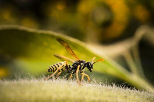 wasp insect macro