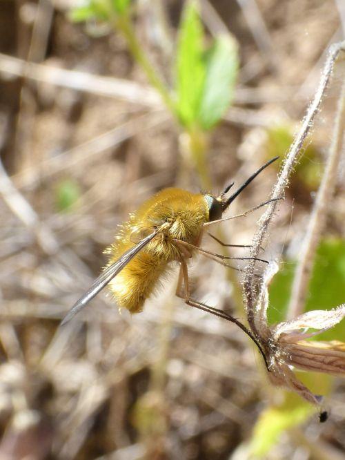 wasp bombus bumblebee