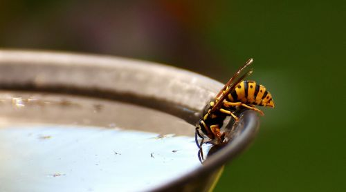wasp insect drinking water
