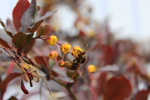 wasp,barberry,insect,flower,a yellow flower,red leaves,nature