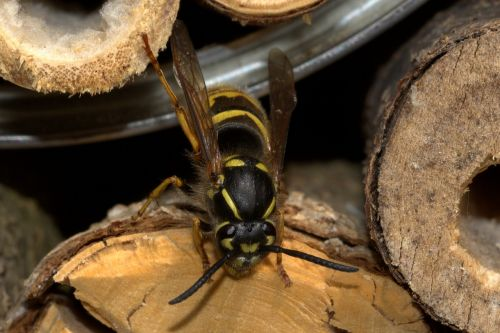 wasp insect house vespinae