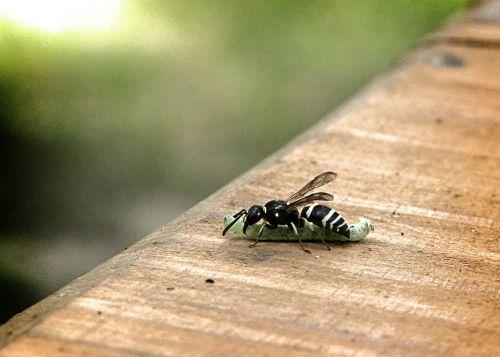wasp caterpillar eat