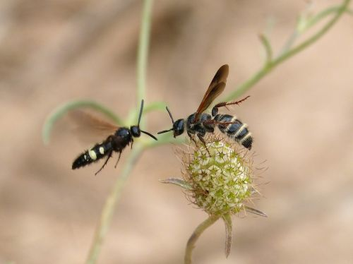 wasp hornet couple