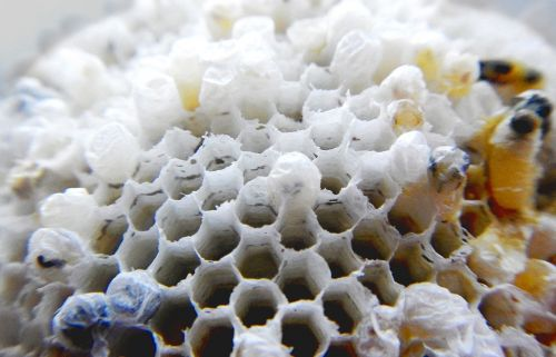 wasp nest hive