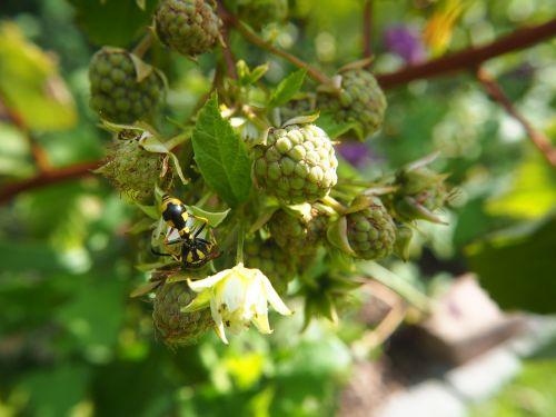 wasp raspberries plant