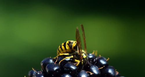 wasp blackberry nature