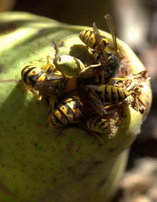 wasp food para