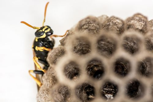 wasp,combs,the hive,insect,close,honeycomb structure,nest,animal,insect nest,structure,hexagonal,nest building,pattern,larvae,nature,wasps dwelling
