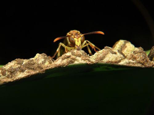 wasp paper hornet