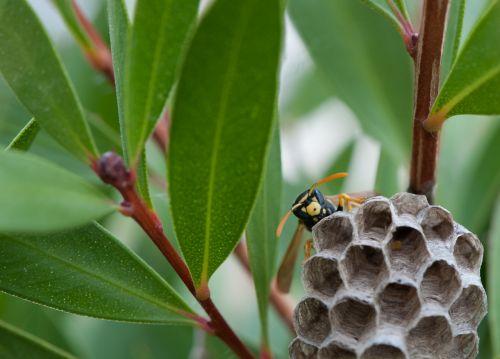 wasp nest cuckoo