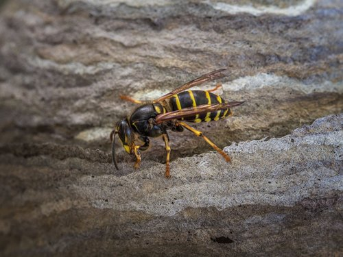 wasp  insect  animal
