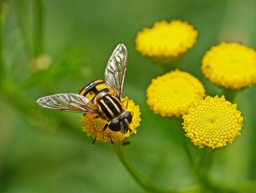 wasp  tansy  flowers