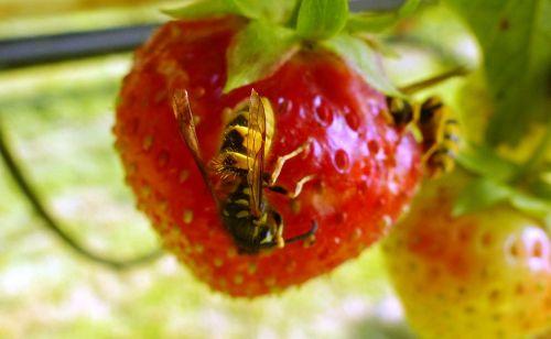 wasp strawberry ecology