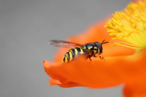 wasp poppy insect