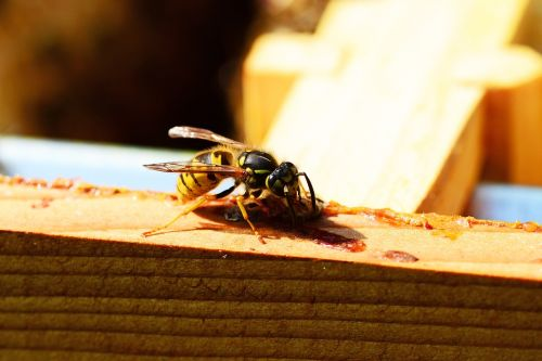 wasp insect yellow