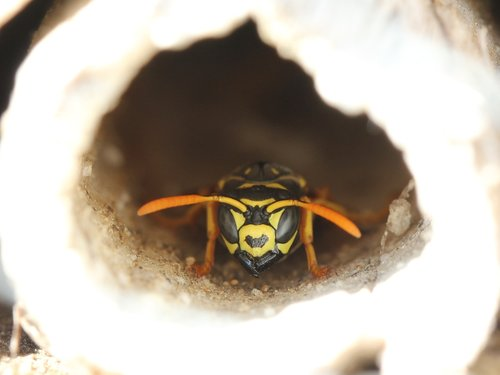 wasp  insect hotel  insect