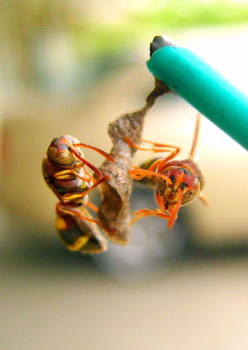 wasp nest build