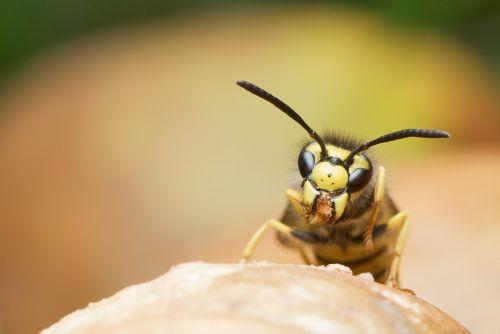 wasp german wasp vespula germanica