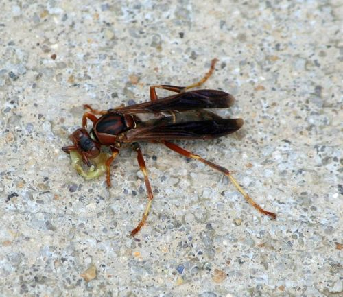 wasp insect fly