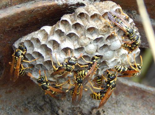 wasp hornet sting