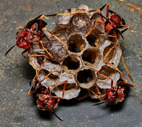 wasp nest eggs