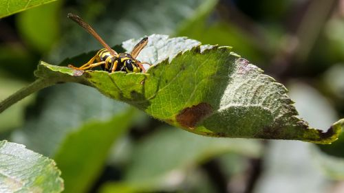 wasp hornet giant wasp