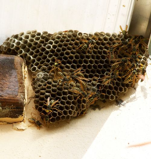 wasp nest insects cellular structure