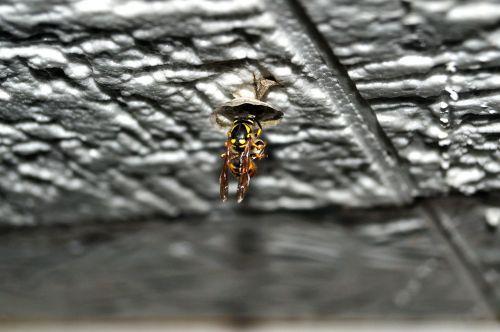 wasp queen queen wasp