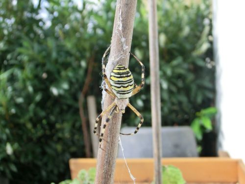 wasp spider very rare beautiful