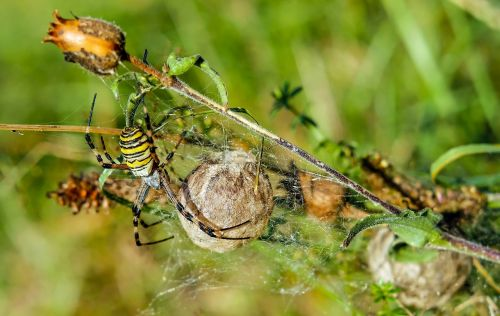 wasp spider spider animal