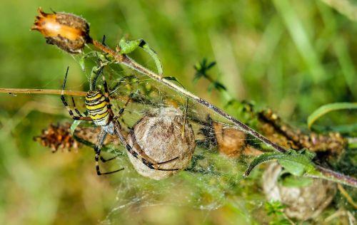 wasp spider spider animal