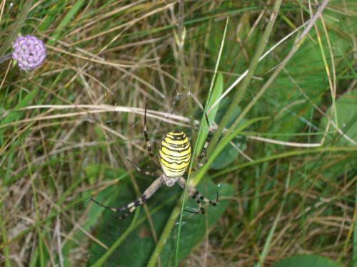 wasp spider spider argiope bruennichi