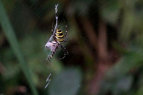 wasp spider argiope bruennichi zebraspinne