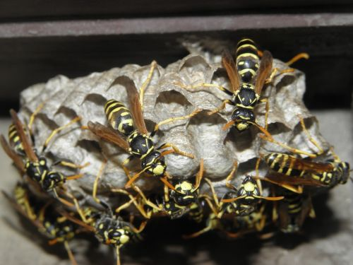 wasps insects nature