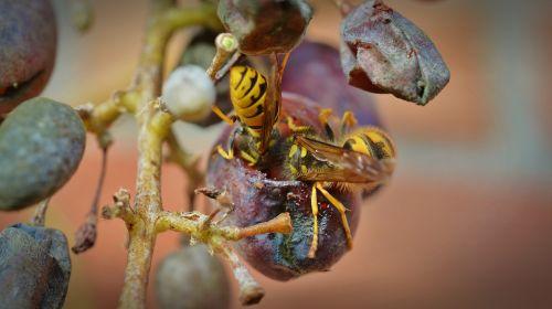 wasps grapes wasps devoured