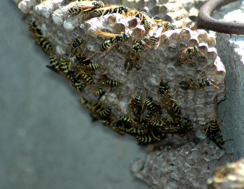 wasps nest wasp nest