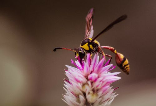 wasps insects flowers
