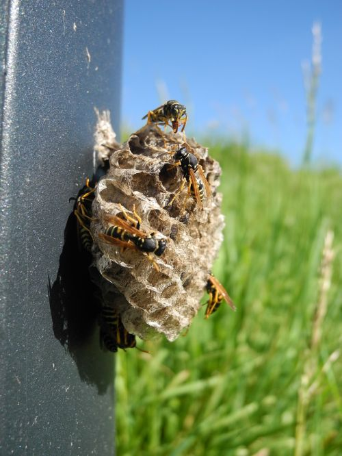 wasps nest alveoli