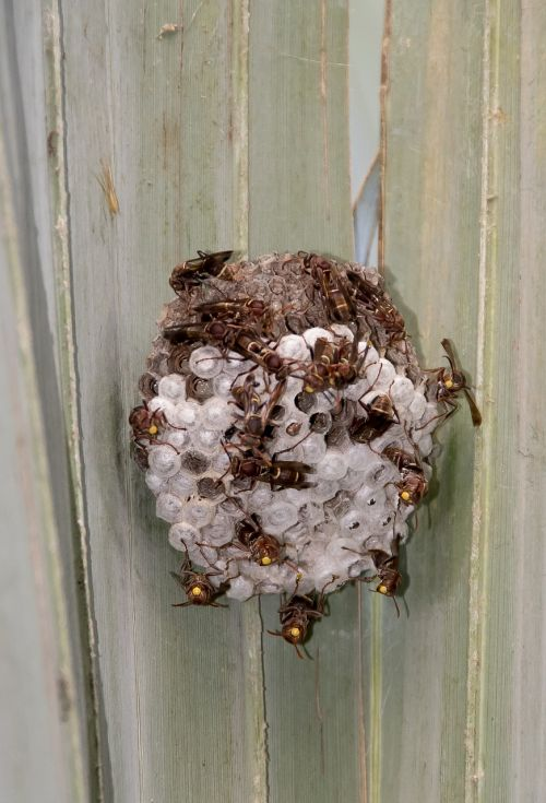wasps nest insects
