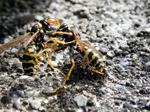wasps  insect  fight