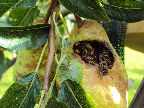 wasps peer fruit tree