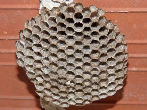 wasps' nest hexagon wasps