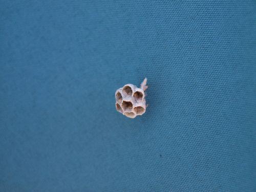 wasps' nest blue nest
