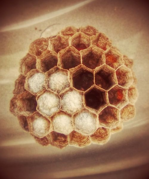 wasps' nest hexagon nest