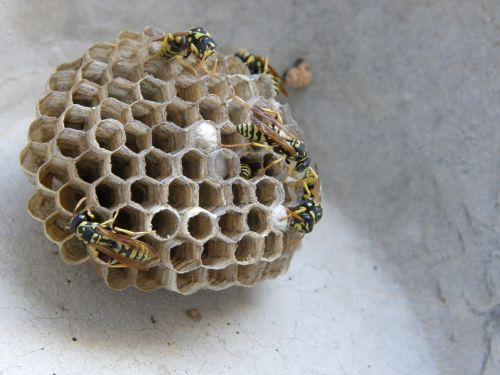 wasps' nest swarm diaper
